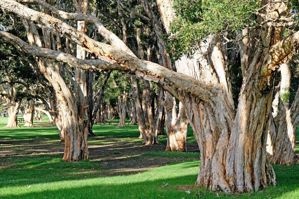 melaleuca trees aka paperbark trees australia
