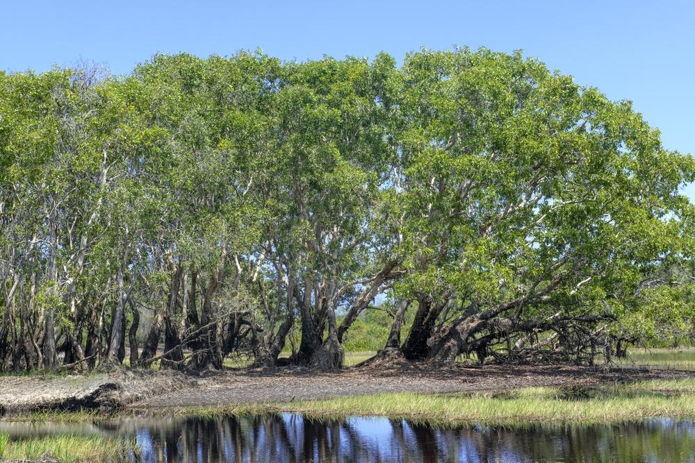 melaleuca trees forest