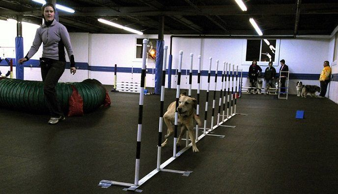 Dog doing a running skills training