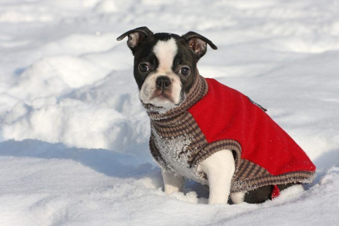boston terrier puppy in the snow for best pet affiliate programs