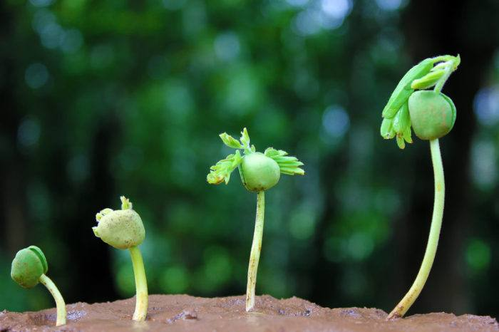 small plant or tree growing in stages showing the tiny seed up to a small sapline