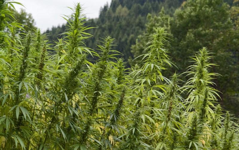 full grown hemp field