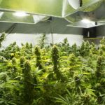 indoor grow room with cannabis and grow lights to show the best cannabis affiliate programs