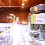 """inside medical marijuana facility with closeup of """"blueberry"""" buds for pain relief"""