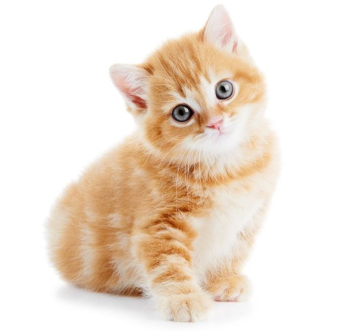 This photo shows an orange kitten sitting against a white background, representing the best cat affiliate programs.