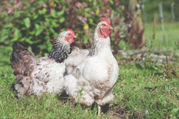 Make Money Chickens For Eggs