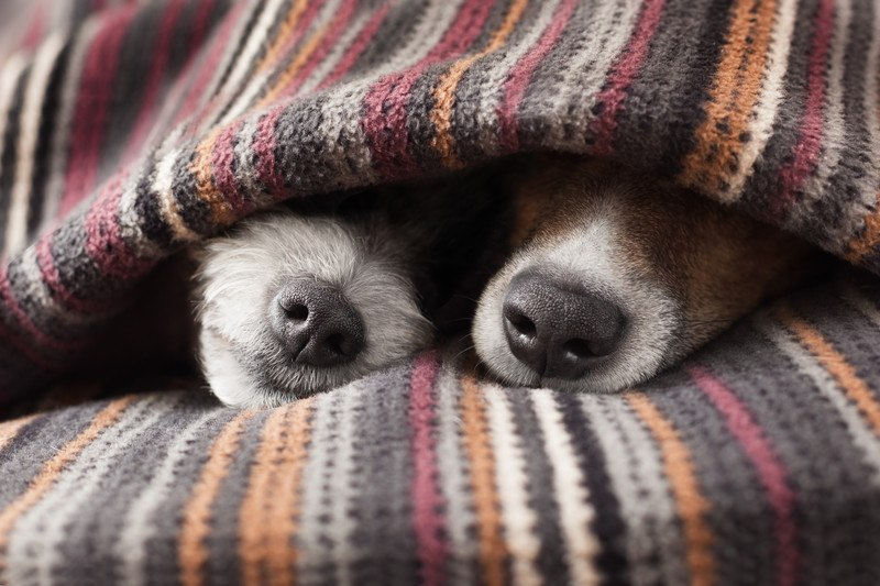 two dogs cuddling under blanket