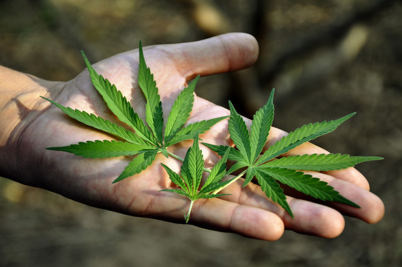 This photo shows a man's extended hand holding marijuana leaves in his open palm, representing the best weed smoking affiliate programs.