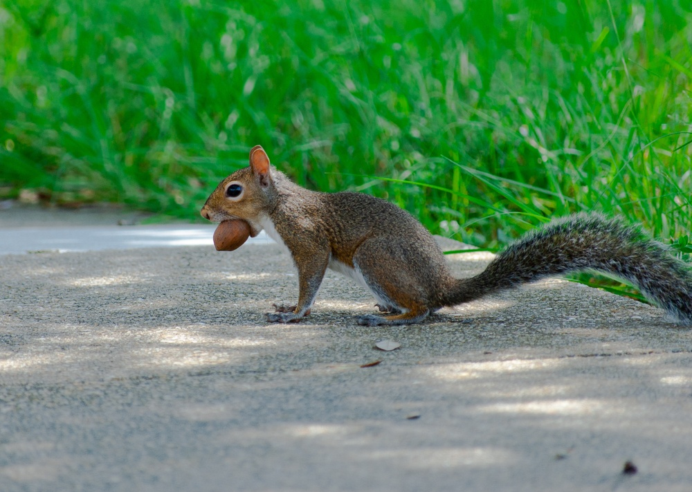 squirrel with acron in mouth on side of road to represent acorns in the rewardable app