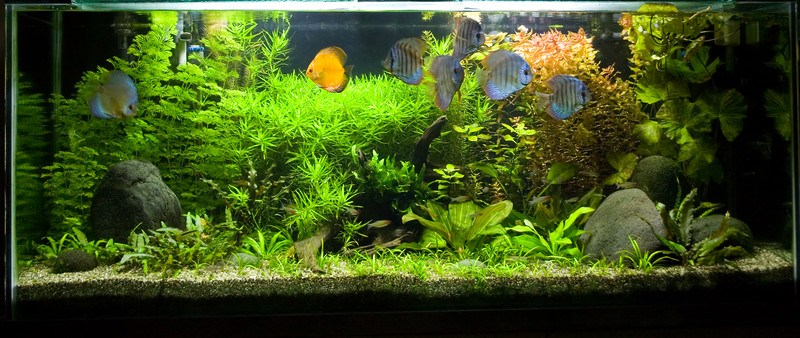 This photo shows six silver and one yellow fish swimming in an indoor aquarium filled with green plants, tan gravel, and gray rocks, representing the best aquarium affiliate programs.