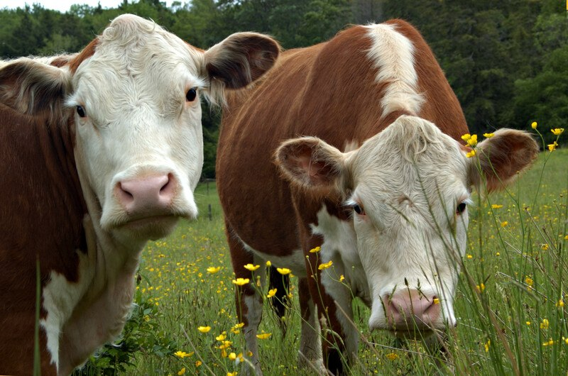 This photo shows two brown and white cows standing in a field of buttercups in front of a row of green leafy trees, representing the best livestock affiliate programs.