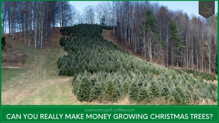 Can You Really Make Money Growing Christmas Trees featured image