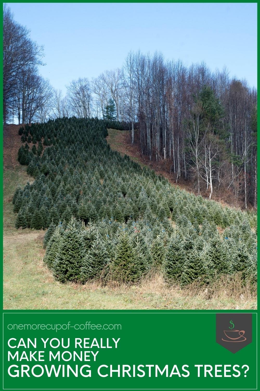 Can You Really Make Money Growing Christmas Trees